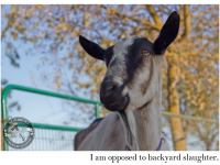 Goats opposed to backyard slaughter