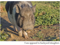 Pigs opposed to backyard slaughter